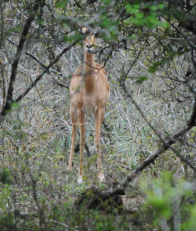 Impala-Baby-2-Wildmoz.com