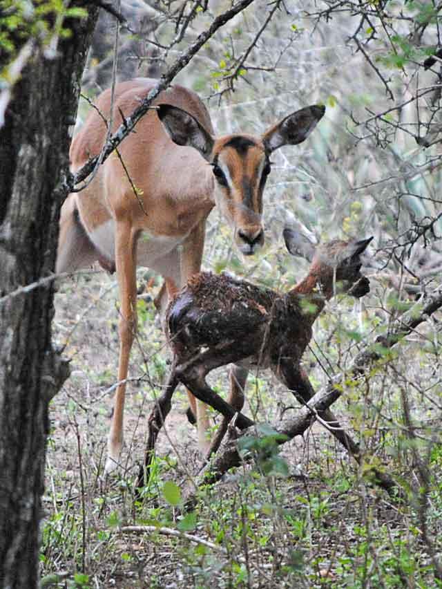 Impala-Baby-3-Wildmoz.com