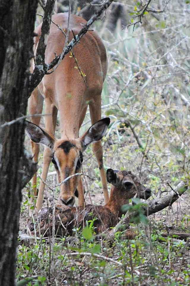 Impala-Baby-8-Wildmoz.com