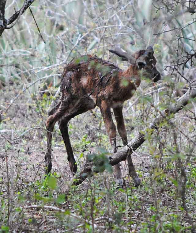 Impala-Baby-9-Wildmoz.com