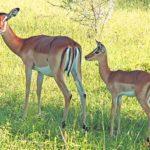 Impala Baby: Newborn Secrets