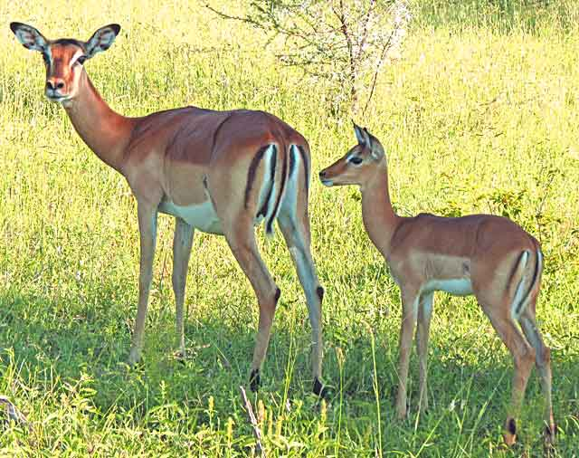 Mother-and-Impala-Baby-Wildmoz.com