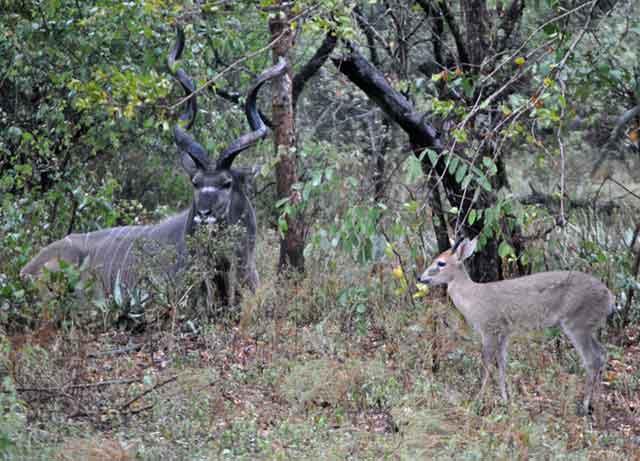 Duiker-Visiting-Kudu-Wildmoz.com