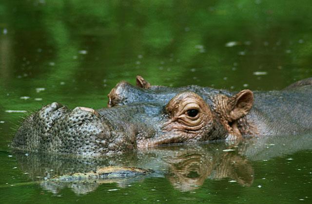 Hippo-Cruising-Wildmoz.com