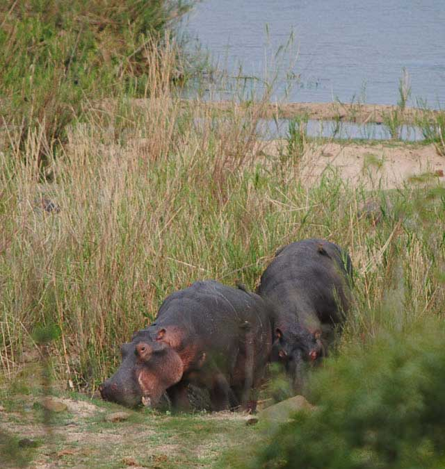 Hippo-Grazing-Wildmoz.com