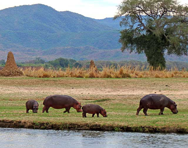 Hippo-Mothers-and-Babies-Grazing-Wildmoz.com