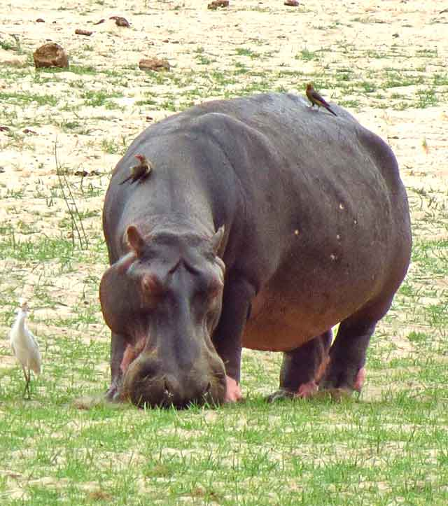 Hippo-Short-Cropping-Wildmoz.com