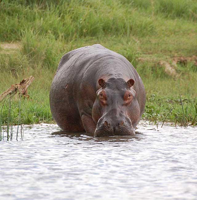 Hippo-Stalking-Wildmoz.com