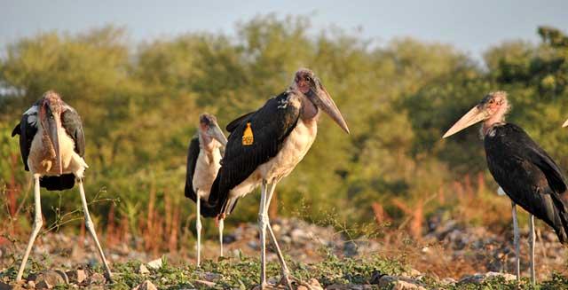 Marabou-Storks-Wildmoz.com