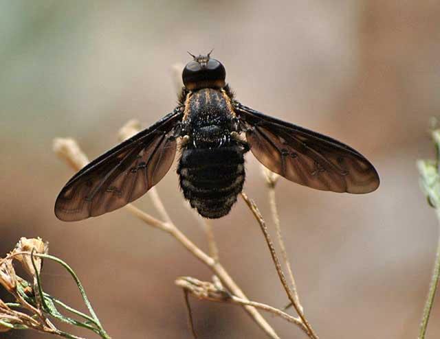 Bizarre-Black-Fly-Wildmoz.com