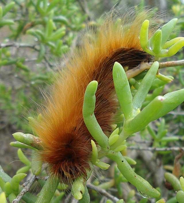 Hairy-Caterpillar-Wildmoz