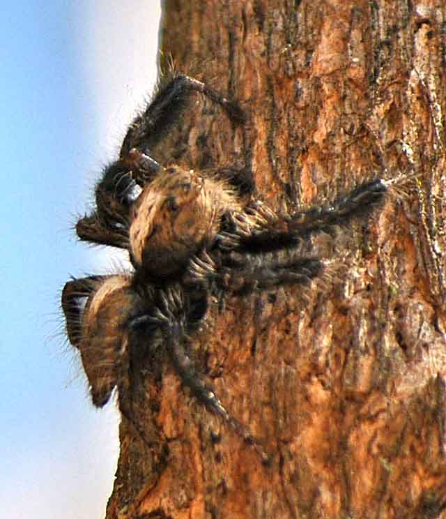 Bizarre-Jumping-Hunting-Spider-Wildmoz.com