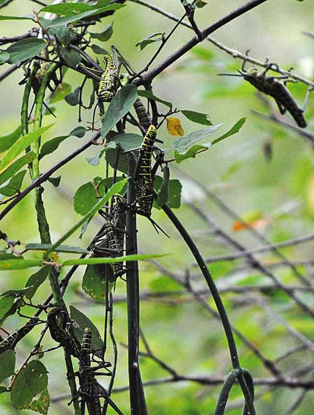 Bizarre-Locust-Colony-Wildmoz.com