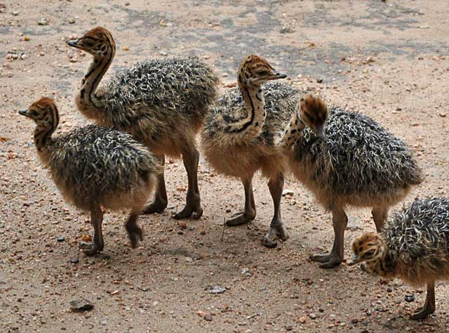 Ostrich-Babies-Grooming-Wildmoz.com