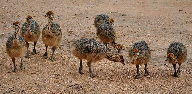 Ostrich-Babies-Group-of-Eight-Wildmoz.com