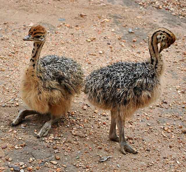 Ostrich-Babies-Relaxing-Wildmoz.com