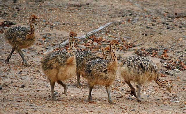 Ostrich-Babies-Striding-Out-Wildmoz.com