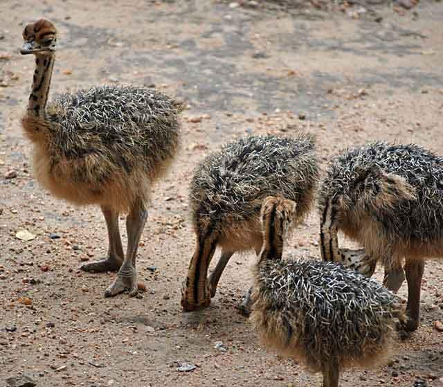 Ostrich-Baby-Group-Wildmoz.com