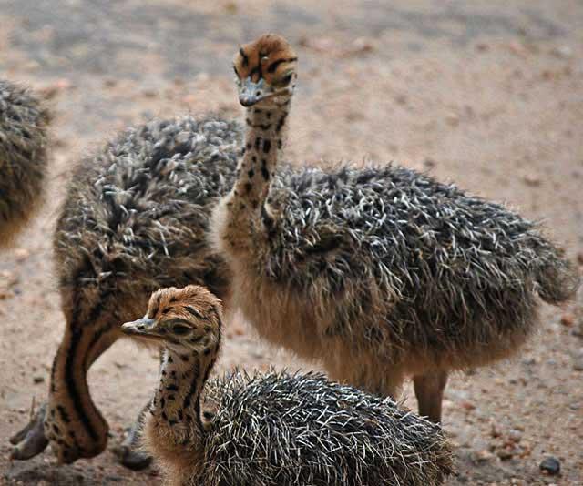 Ostrich-Baby-Marking-Wildmoz.com