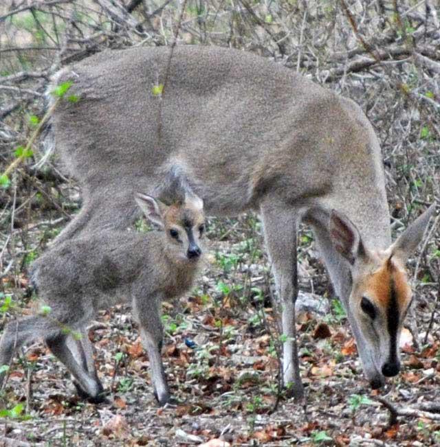 Duiker-mother-and-baby-Wildmoz.com