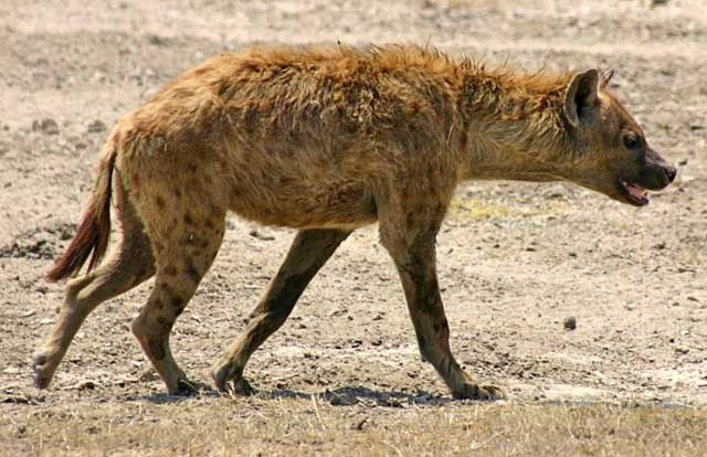 Hyena-after-Steenbuck-Wildmoz.com