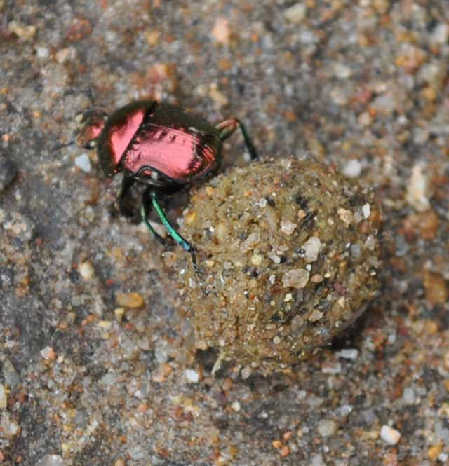 Dung-Beetle-Burial-On-The-Road-Wildmoz.com