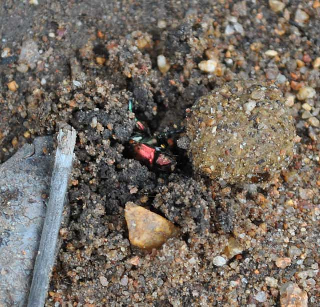 Dung-Beetle-Burial-Pulling-Ball-Wildmoz.com