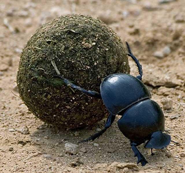 Flightless-Dung-Beetle-Wildmoz.com