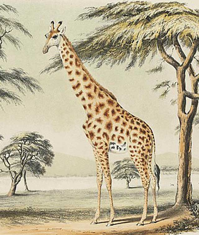 Giraffe-Stretched-His-Neck-Wildmoz.com