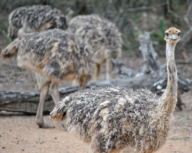 Ostrich-Chick-Adolescents-Wildmoz.com