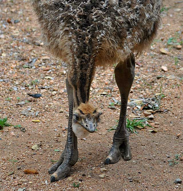 Ostrich-Chick-Curious-Wildmoz.com