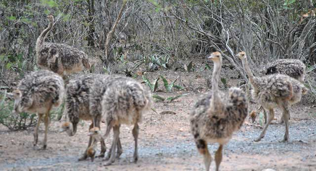Ostrich-Chick-Gang-Wildmoz.com