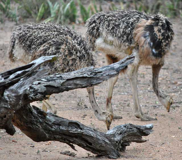 Ostrich-Chick-Male-and-Female-Wildmoz.com