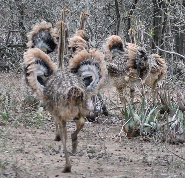 Ostrich-Chicks-Leaving-Wildmoz.com