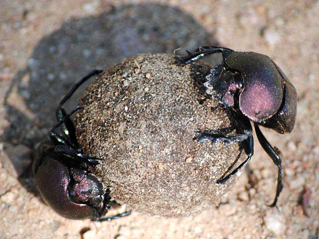 Two-Dung-Beetles-Wildmoz.com