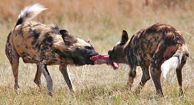 Wildmoz.com-African-Wild-Dog-Animals-of-the-Kruger-Park