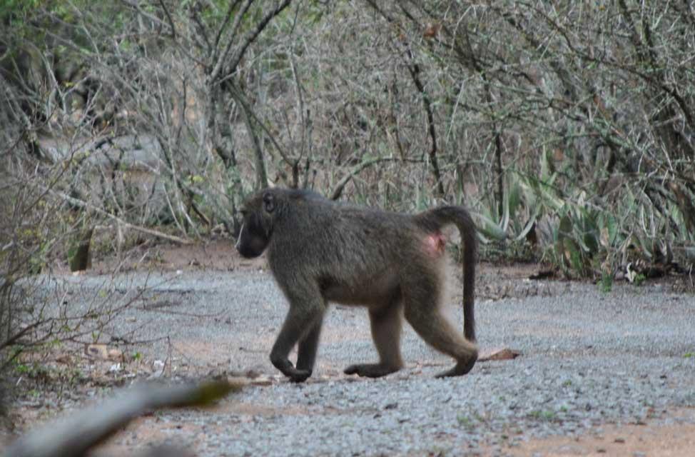 wildmoz.com-ordinary-wildlife-male-baboon