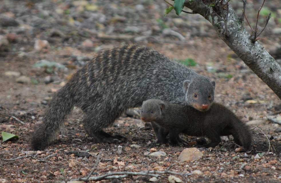 wildmoz.com-ordinary-wildlife-mongoose