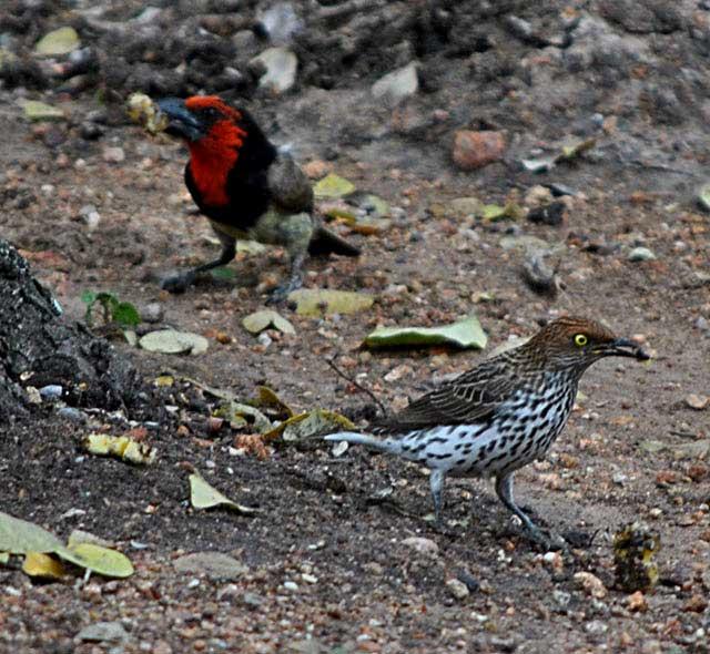 wildmoz.com-ordinary-wildlife-female-plum-starling