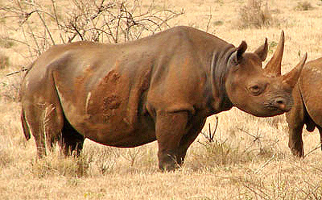 Wildmoz.com-Black-Rhino-Amazing-Animals of-the-Kruger-Park