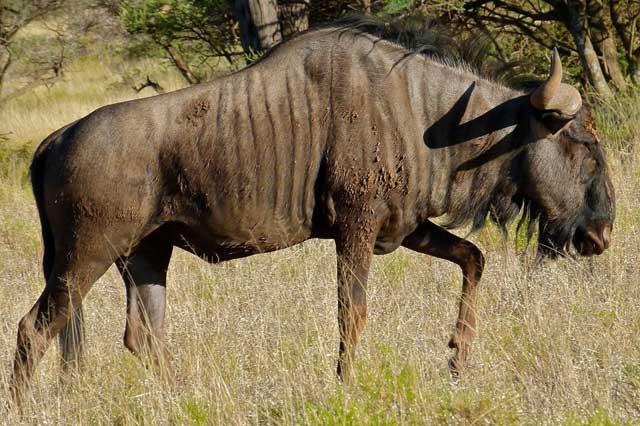 Wildmoz.com-Blue-Wildebeest-Animals-of-the-Kruger-Park
