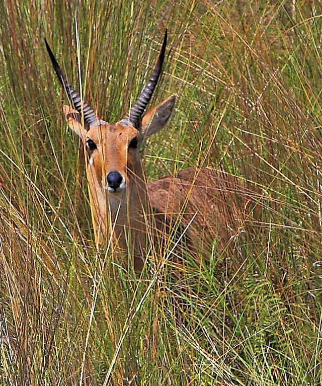 Wildmoz.con-Common-Reedbuck-Amazing-Animals-of-the-Kruger-Park
