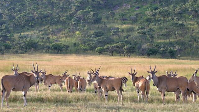 Wildmoz.com-Eland-Herd-in-the-Savannah