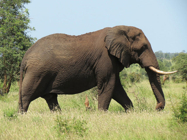 Wildmoz.com-Elephant-Incredible Animals of the Kruger Park
