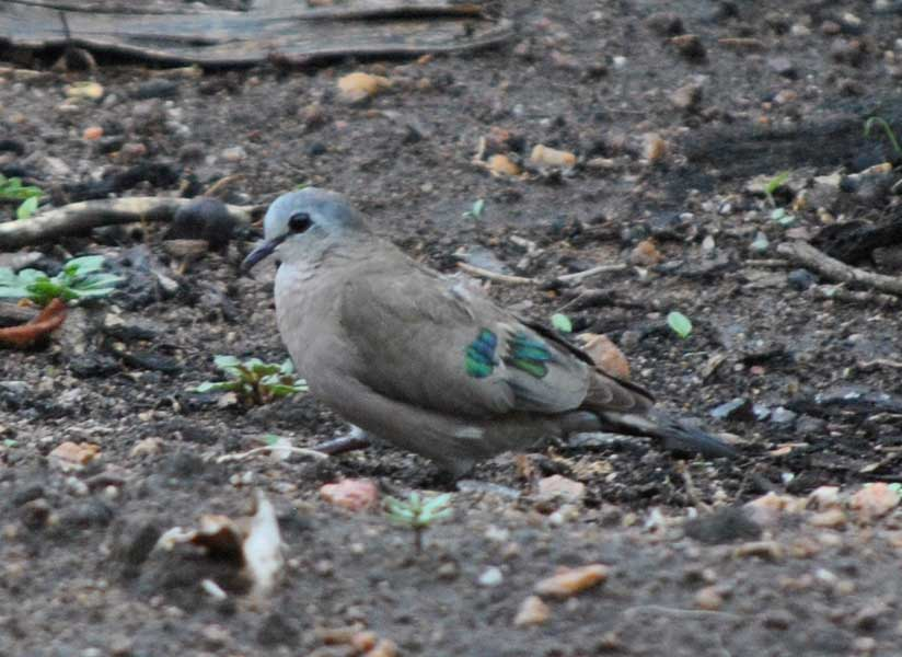wildmoz.com-ordinary-wildlife-emerald-spotted-dove