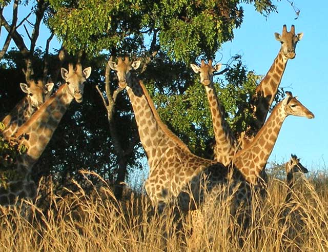 Wildmoz.com-Giraffe-Amazing-Animals-of-the-Kruger-Park