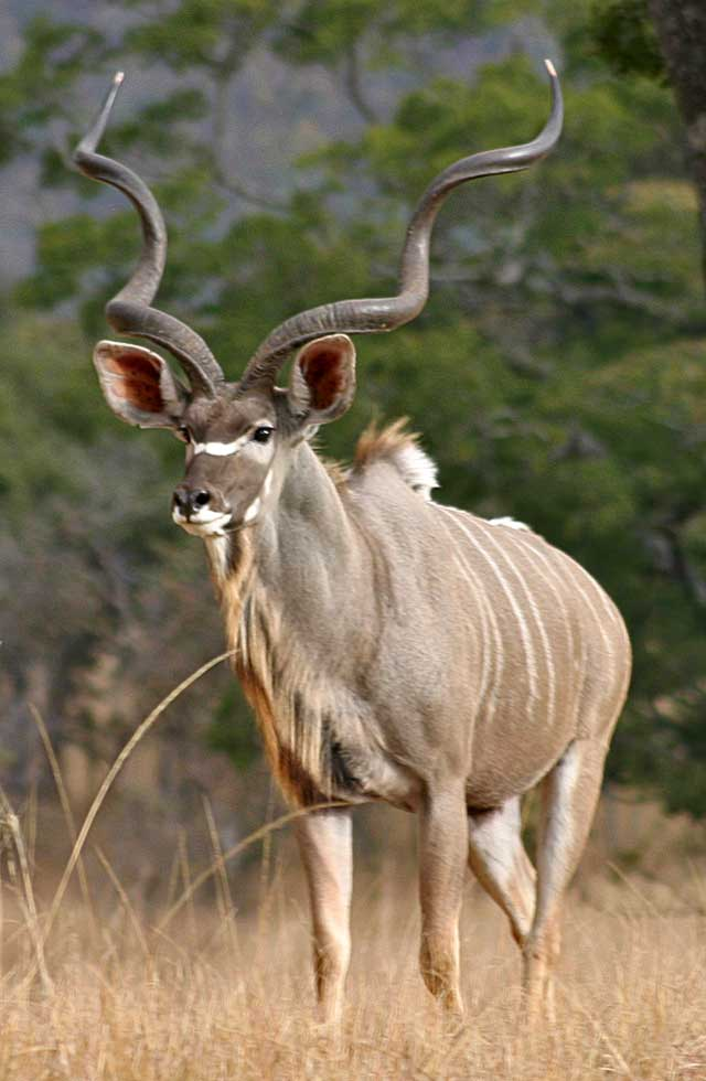 Wildmoz.com-Greater-Kudu-Amazing-Animals-of-the-Kruger-Park