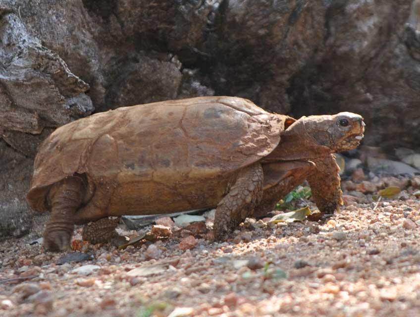 wildmoz.com-ordinary-wildlife-hinged-tortise