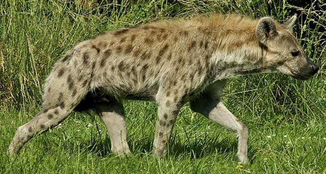 Wildmoz.com-Hyena-Animals-of-the-Kruger-Park