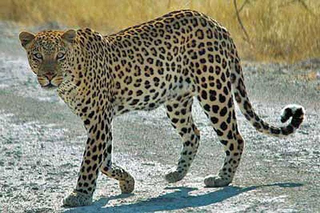 Wildmoz.com-Leopard-Animals-of-the-Kruger-Park